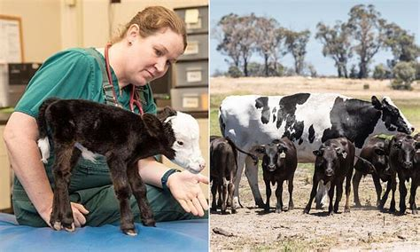 A miniature cow named Lil' Bill could be the world's